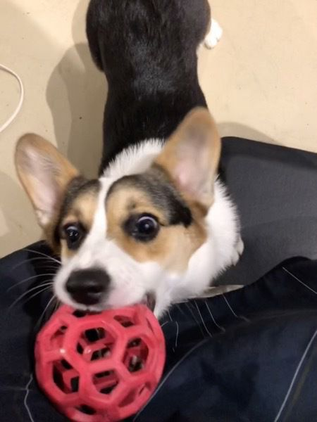 A picture of a dog with a ball